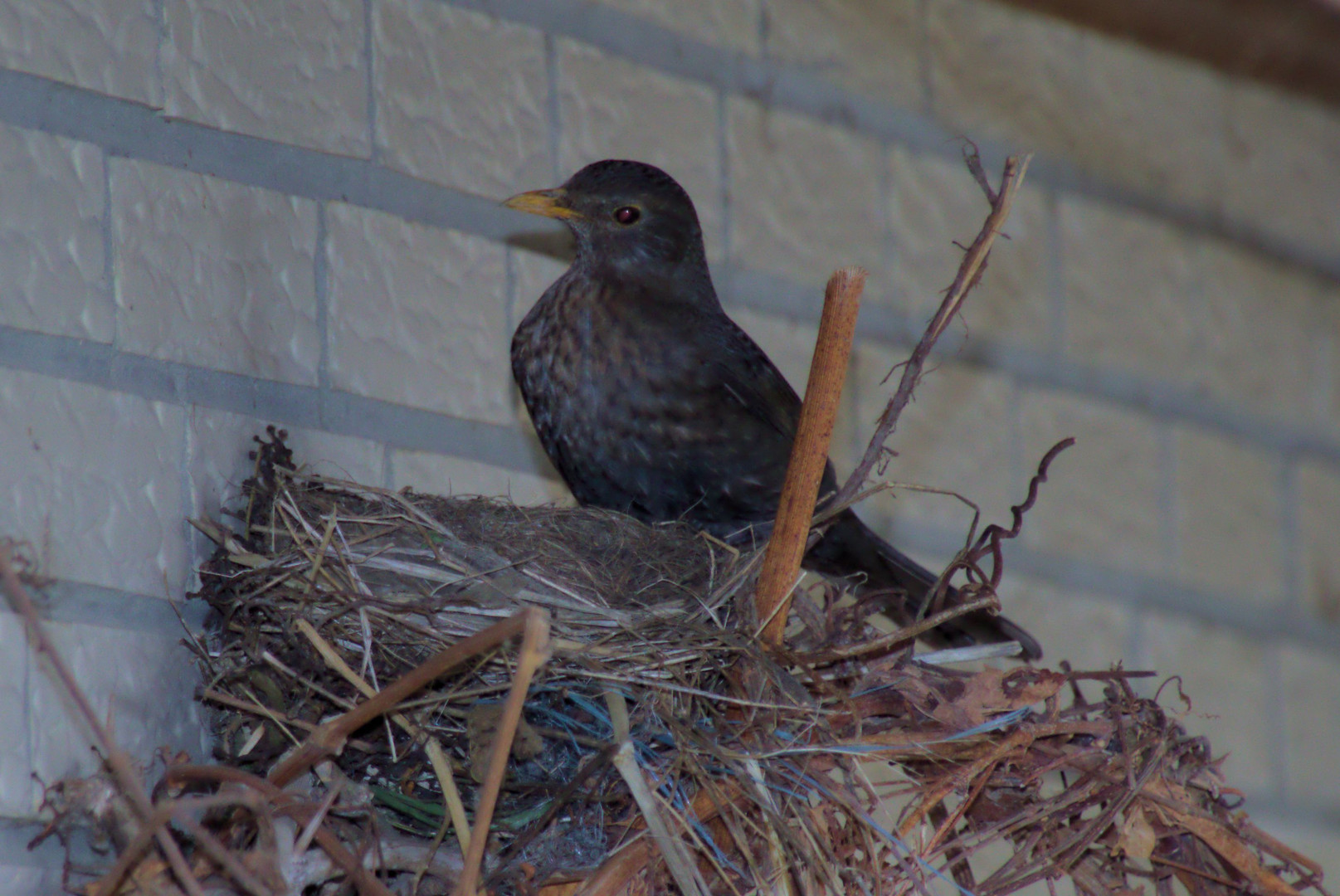 Amsel nest