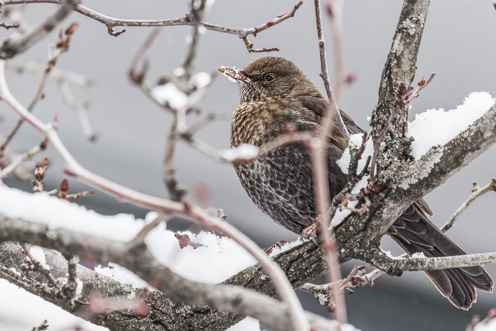 Amselweibchen im Winter