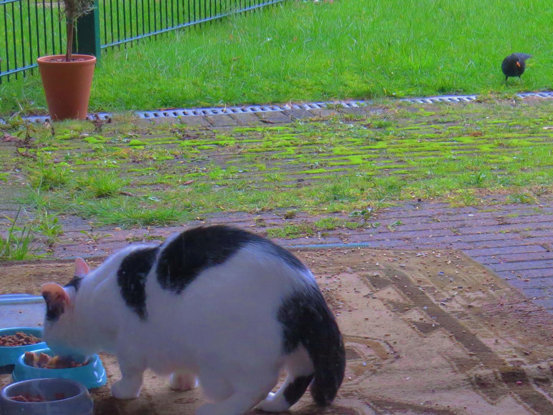 Amselweibchen und eine der freilaufenden Katzen.