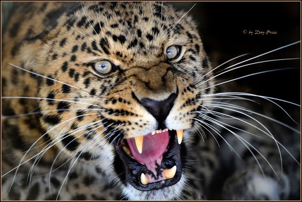 Amur Leopard...