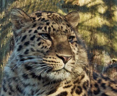 Amur Leopard Portrait 001
