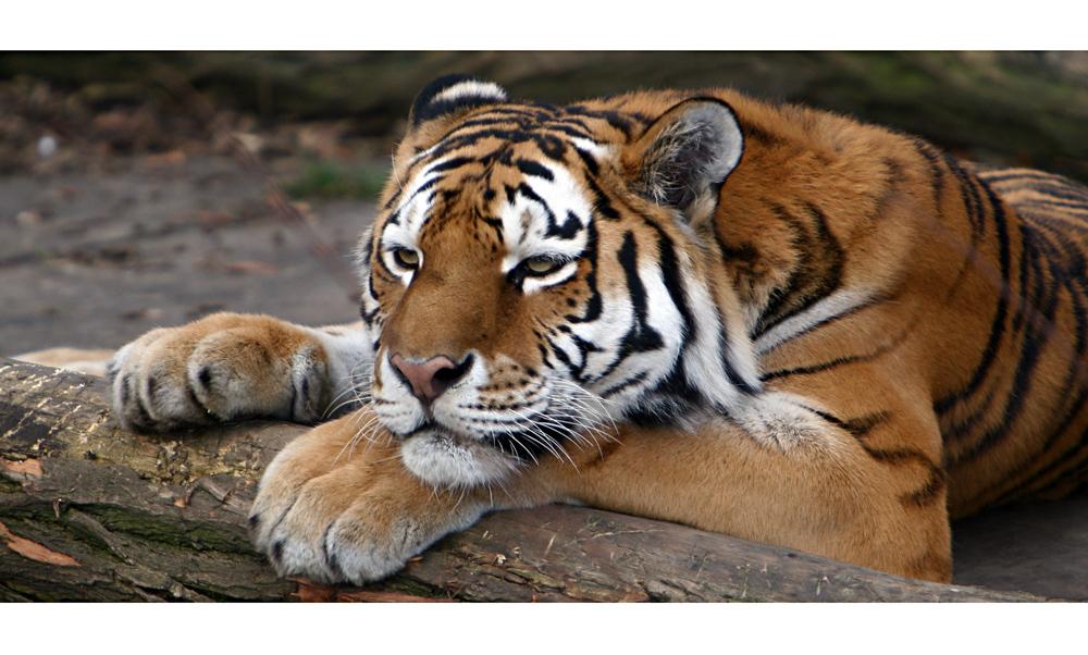 Amur Tiger im Zoo