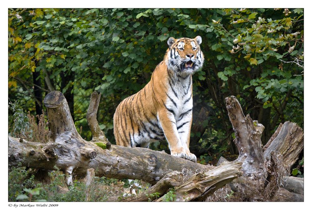 Amur-Tiger V
