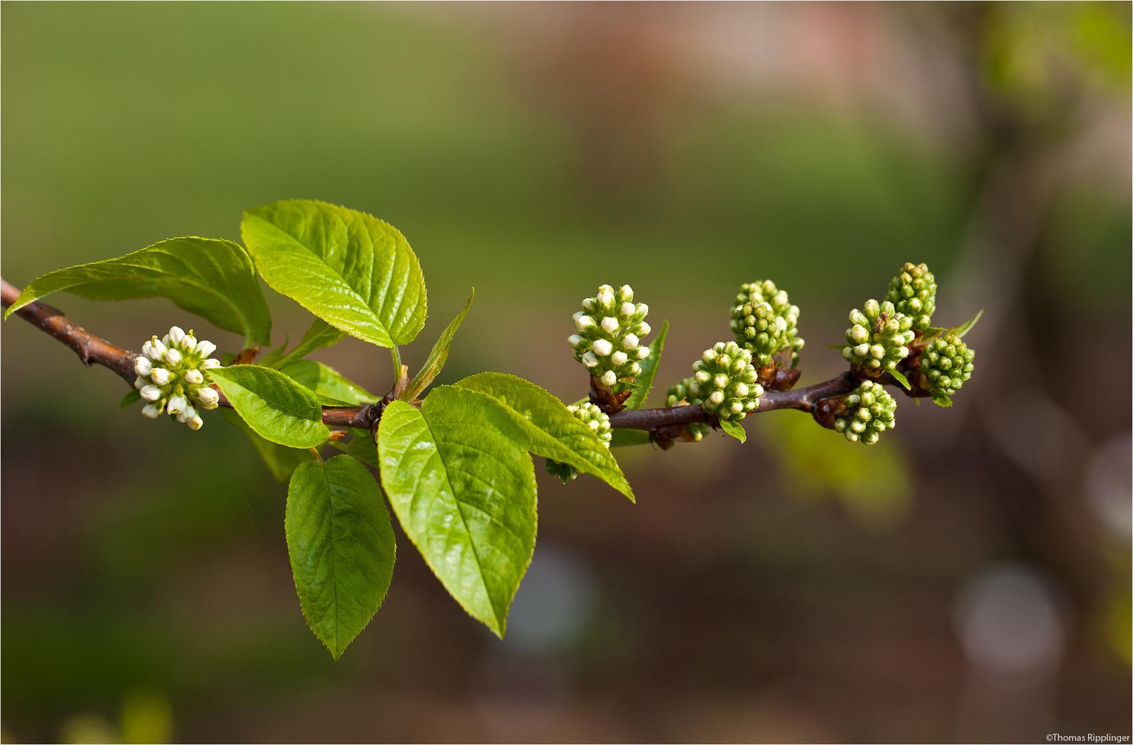 Amur Traubenkirsche (Prunus maackii)