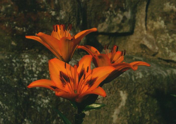 An alle Planzenkenner ! Wie nennt man diese Blume?