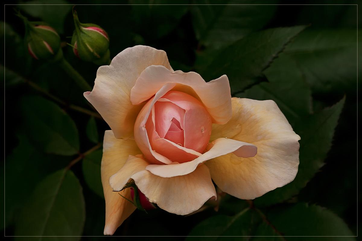 An Austin-rose....
