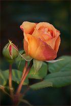 An Austin-rose...