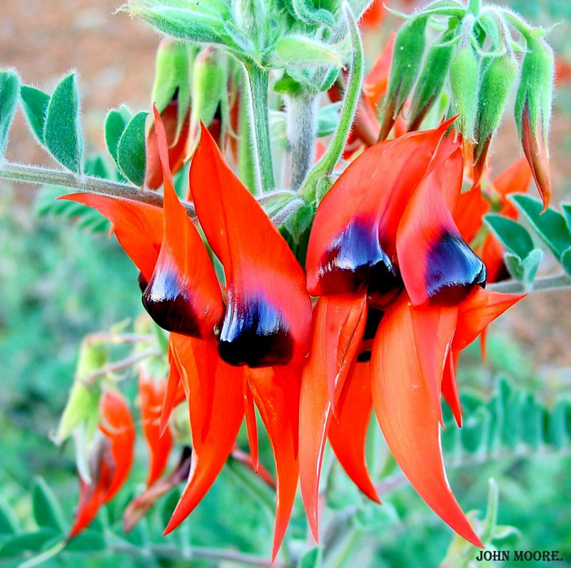 An Australian Sturt's Desert Pea, Swainsona Formosa