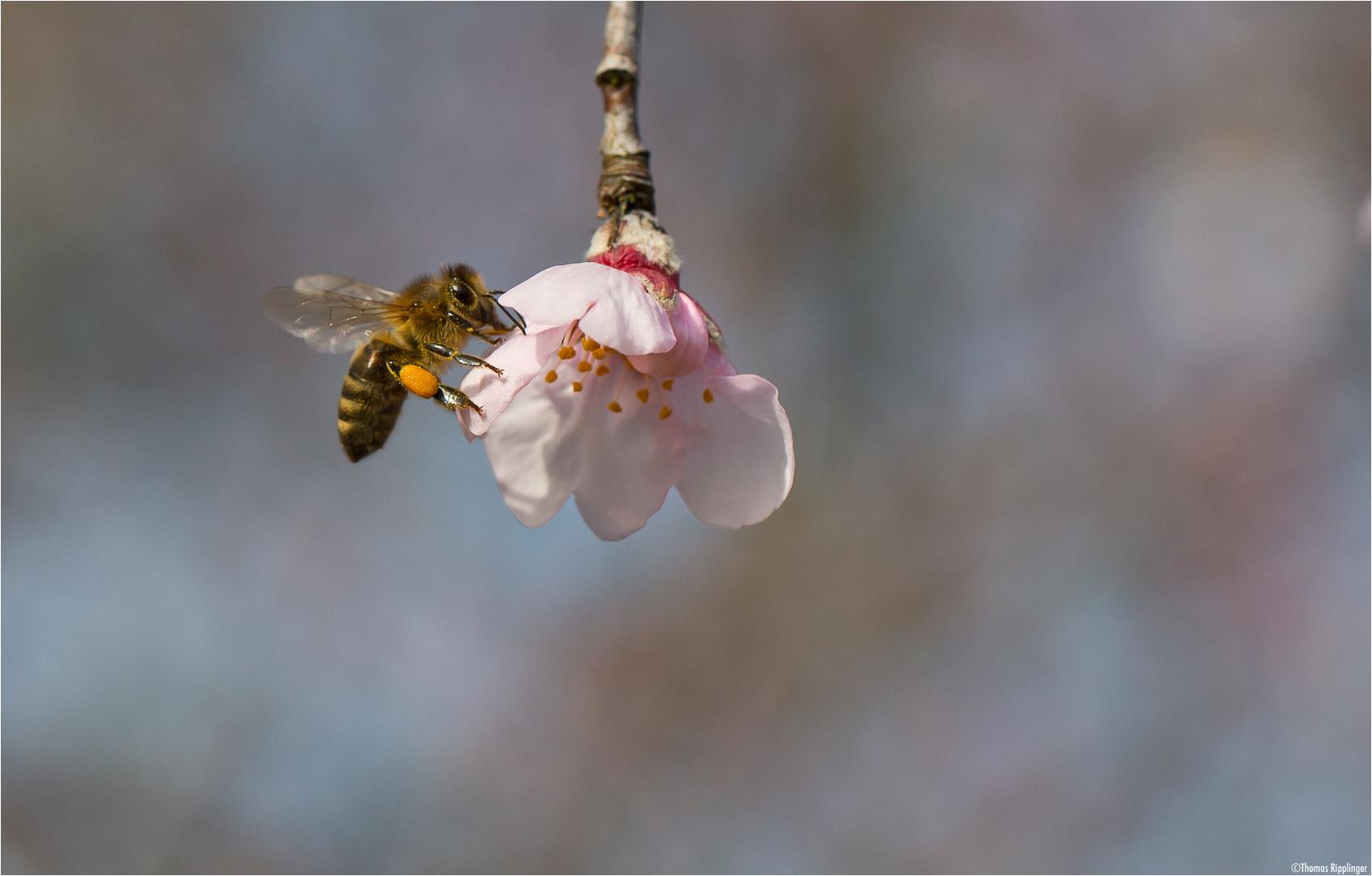 An der Pfirsich Blüte...