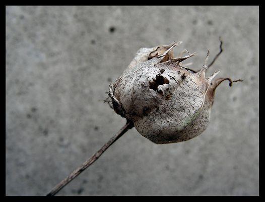 an einer Betonmauer vertrocknete Pflanze