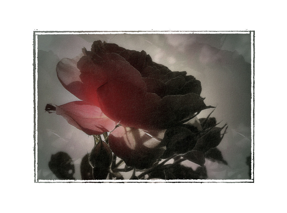 An meine Rose