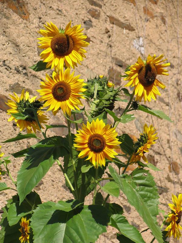 An Sonnenblumen komm ich nicht vorbei...