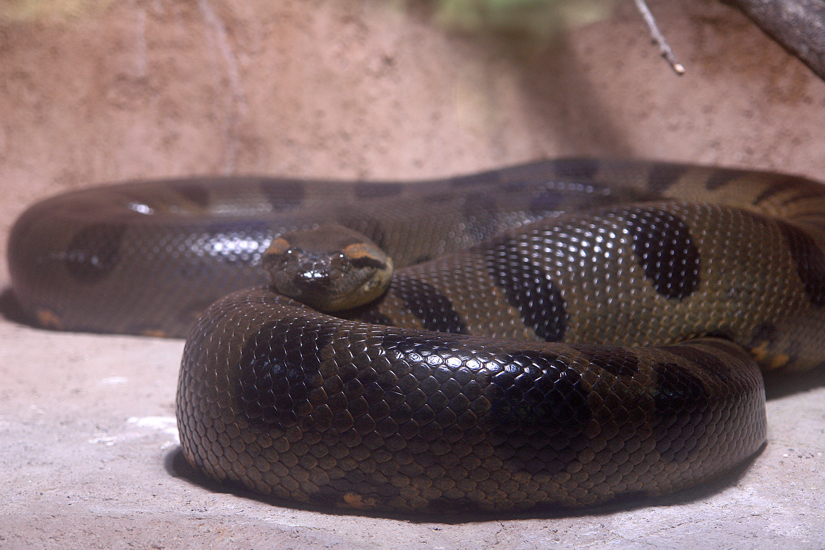 Anaconda TP Hellabrunn