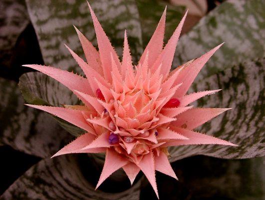 Ananas-Blume
