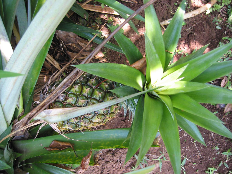 Ananas mit Blatt und Stil.