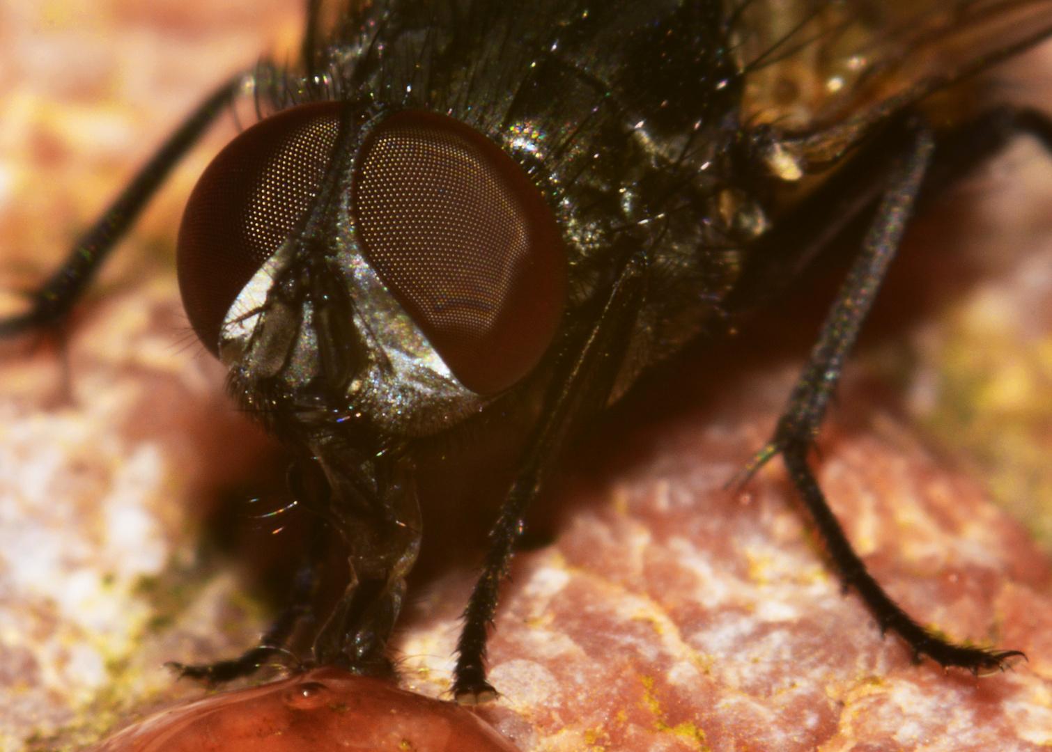 Anatomie & Physiologie des Saugrüsselapparates der Fliege