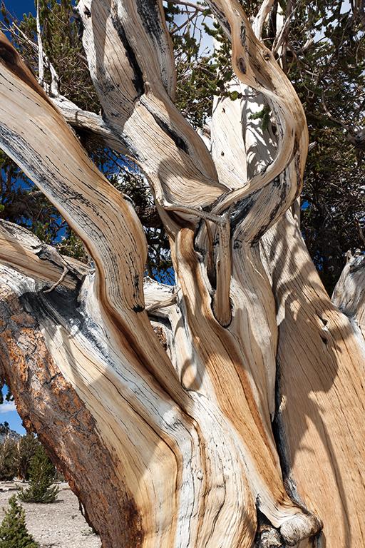 Ancient Bristlecone Pine 2