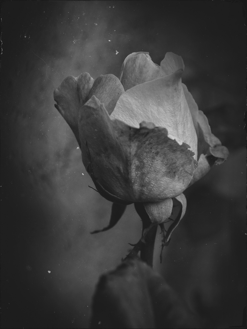 ....ancora rose...