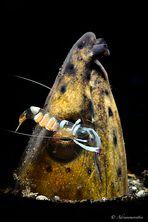 Ancylomenes magnificus su snake eel