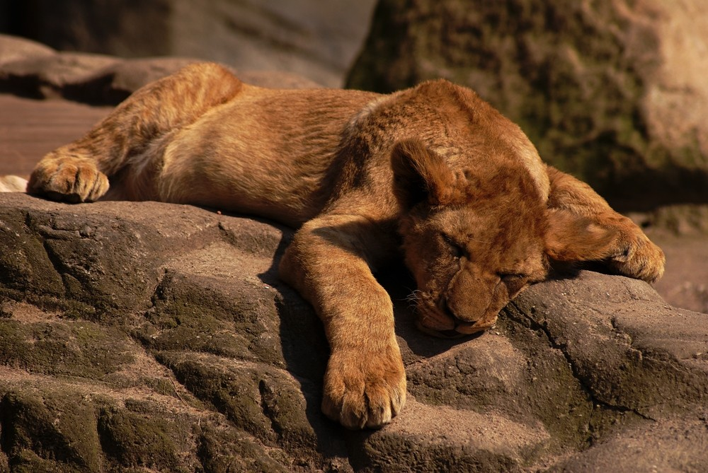 ...and the lion sleeps...