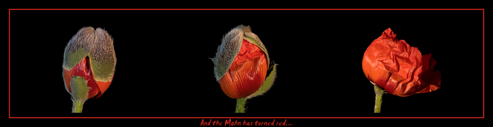 ...and the mohn has turnrd red.....