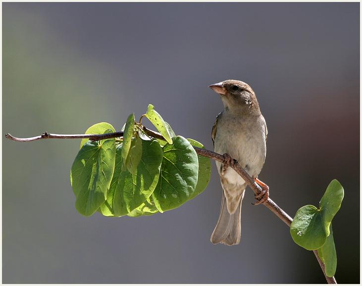 Andalusische Vögel - Weidensperling mit Dank an Roman M.