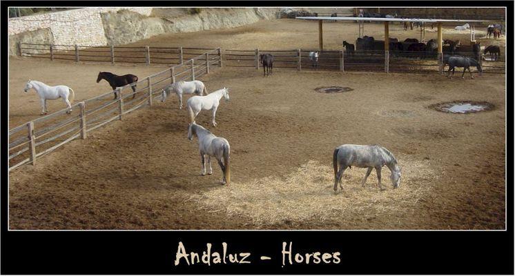 Andaluz - Horses #2