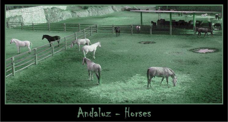 Andaluz - Horses