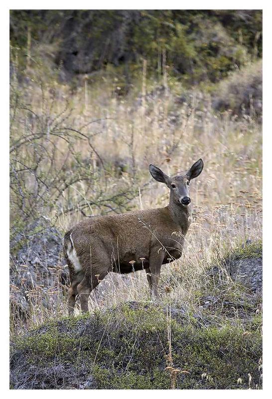 Andenhirsch / South Andean Deer