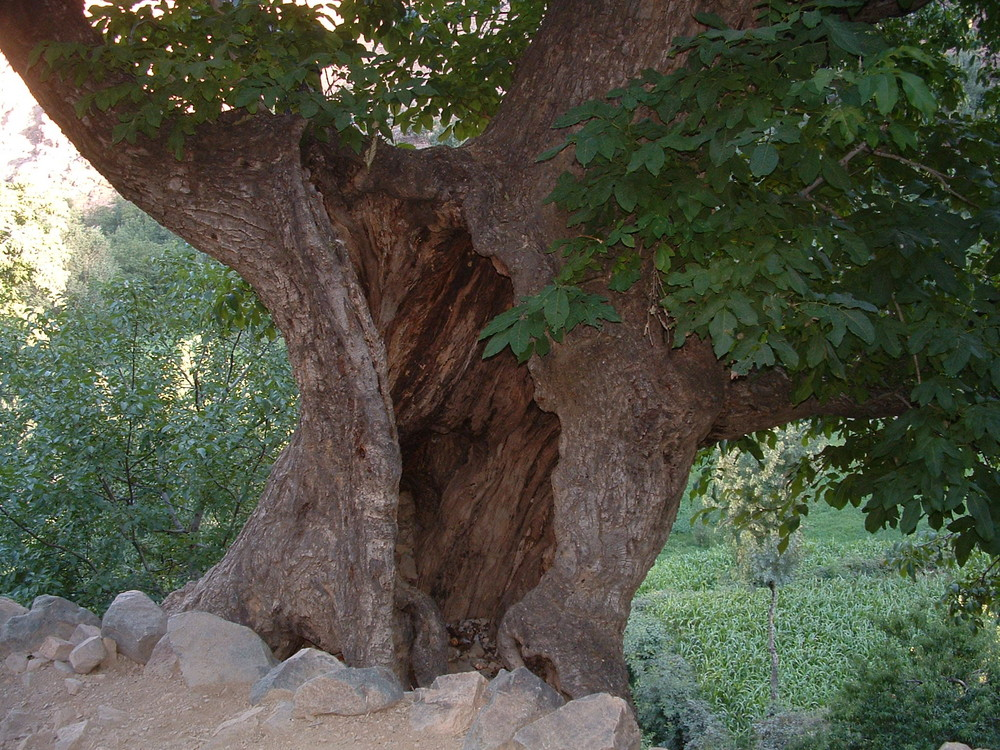 andouz arbre