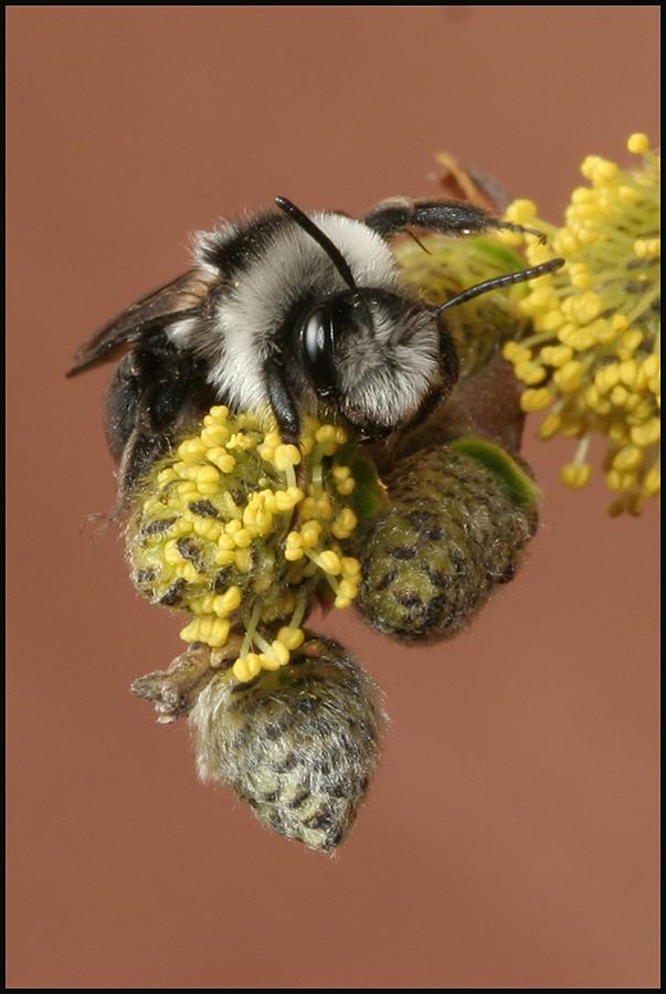 Andrena cinarea