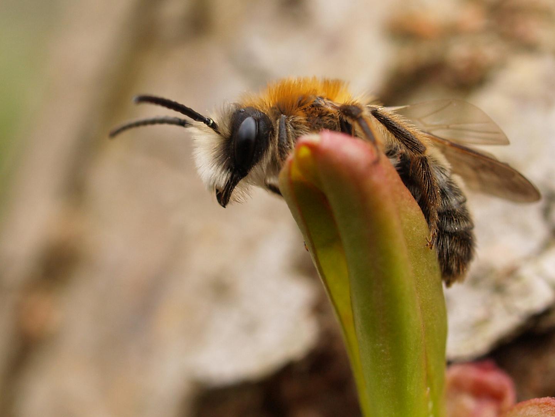 Andrena fulva 2