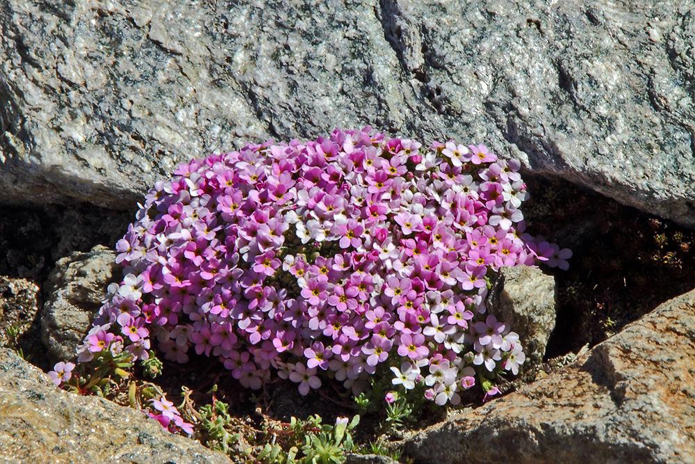 Androsace alpina - Alpenmannsschild