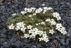 Androsace vandellii - Vandellis Mannsschild eine seltene Kostbarkeit