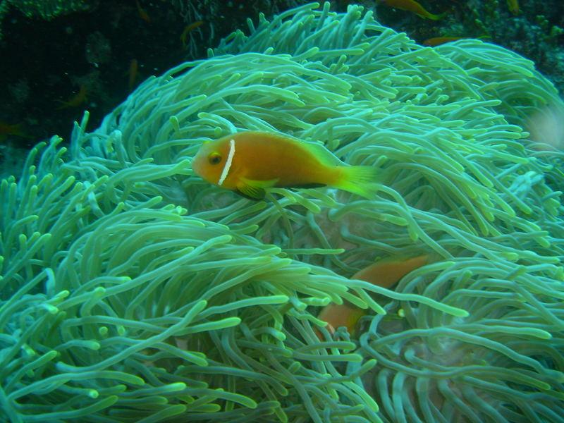 Anemaone+ Anemonenfisch
