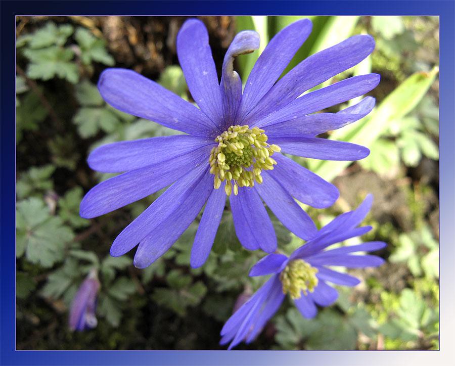 Anemona blanda