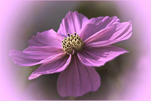 Anemona  de invierno
