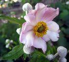 Anemone.......