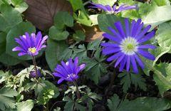 Anemone apennina, Apenninen-Windröschen, Appenine Windflowers