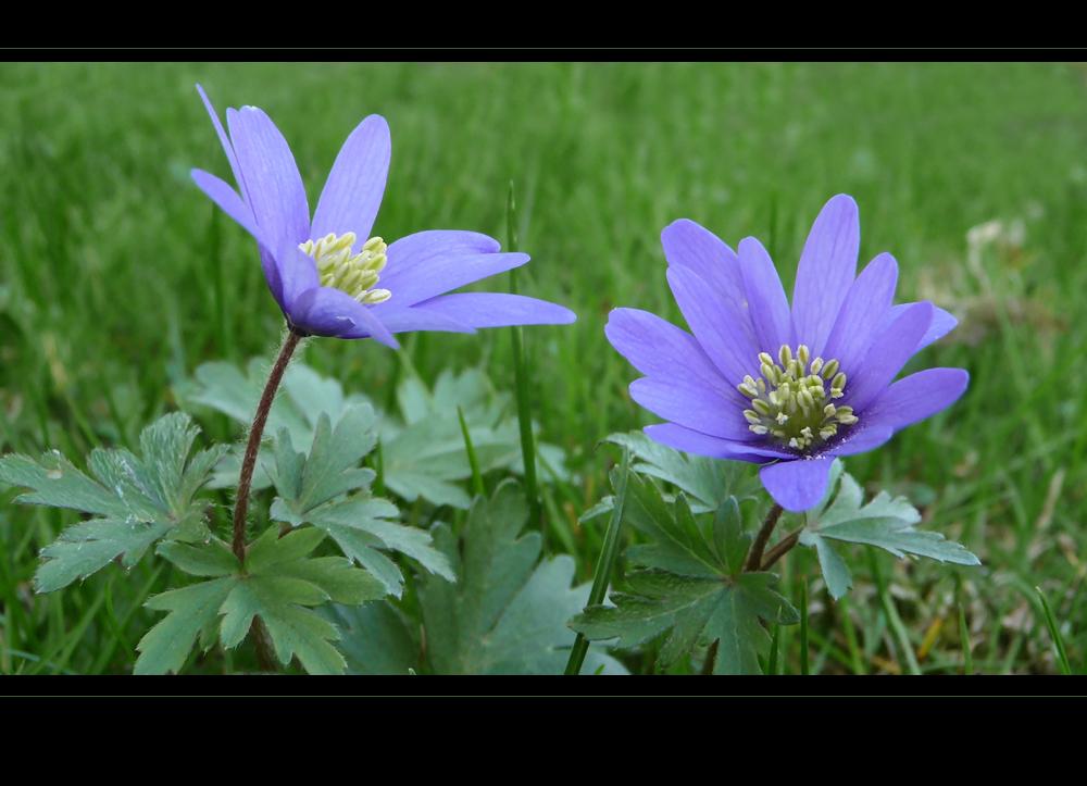 . anemone blanda .