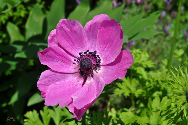 Anemone, die 2. Farbe*