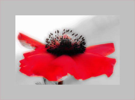 Anemone, die Schöne