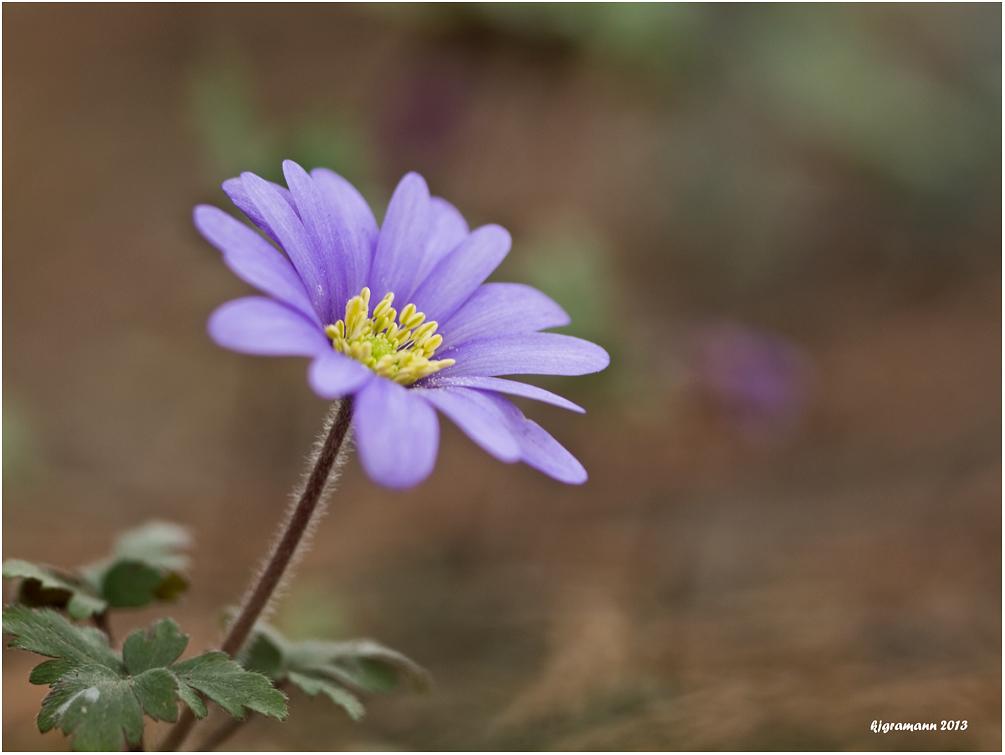 Anemone.....