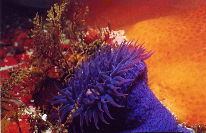 Anemone I