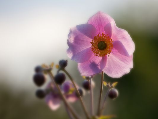 Anemone, leuchtende Blüte und Knospen in der Abendsonne