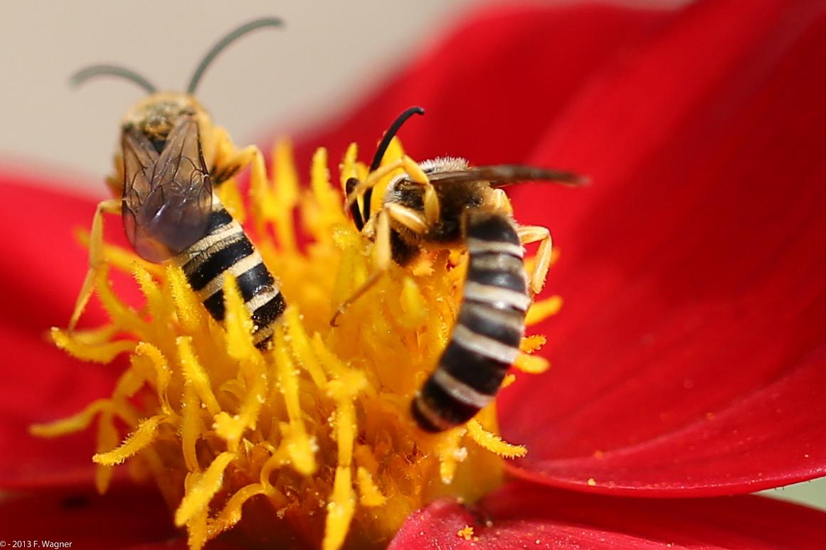 Anemone mit Efeu-Seidenbiene (vielen Dank an Jani für die Bestimmung...)