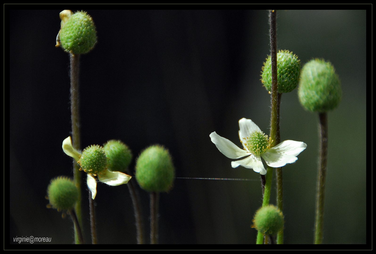 Anemone Multifada