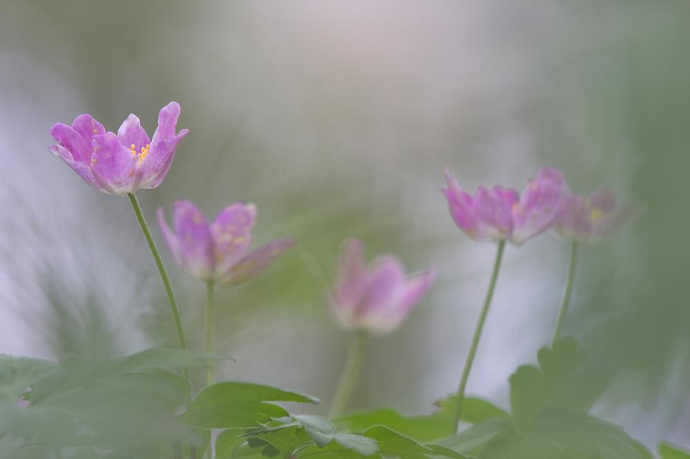Anemone nemorosa in rosa