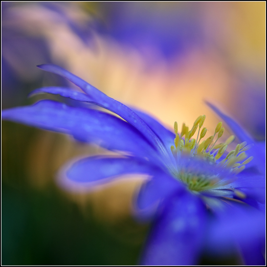 Anemone nemorosa 'Robinsoniana'