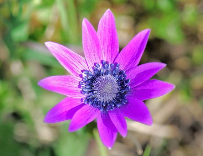 anemone stellata di campagna